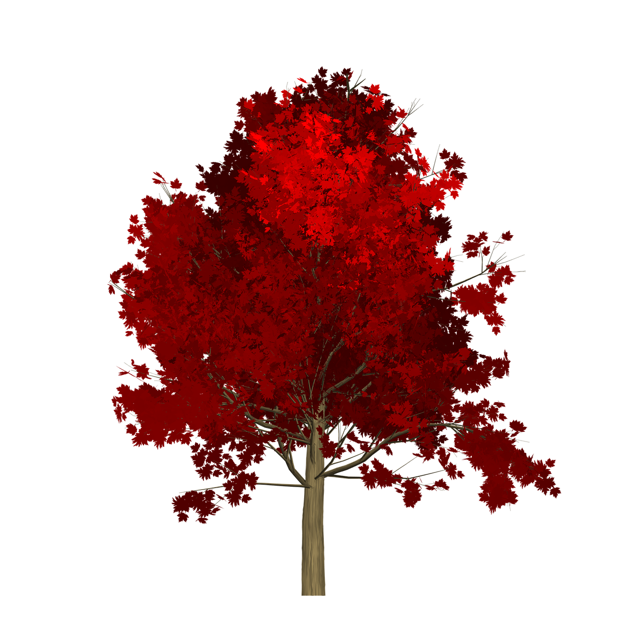 maple tree red free photo