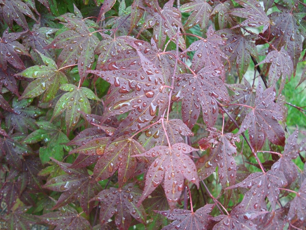 maple leaves drops plant leaves free photo