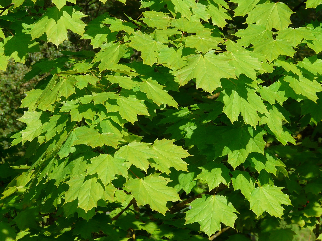 maple maple leaves leaf free photo