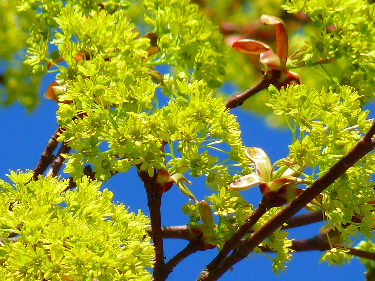 maple maple blossom blossom spring free photo