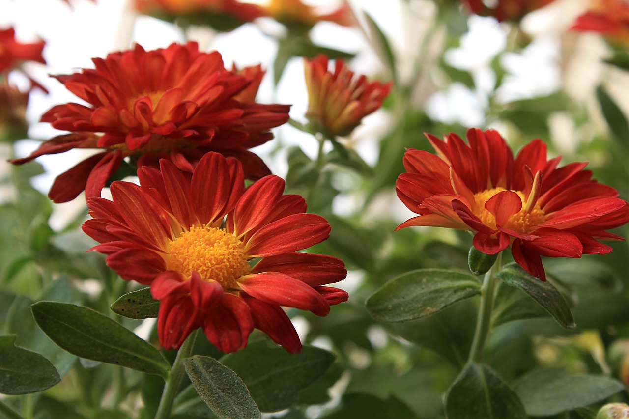 Margaretred daisyflowersgardenfree photos free photo from margaret red daisy flowers izmirmasajfo