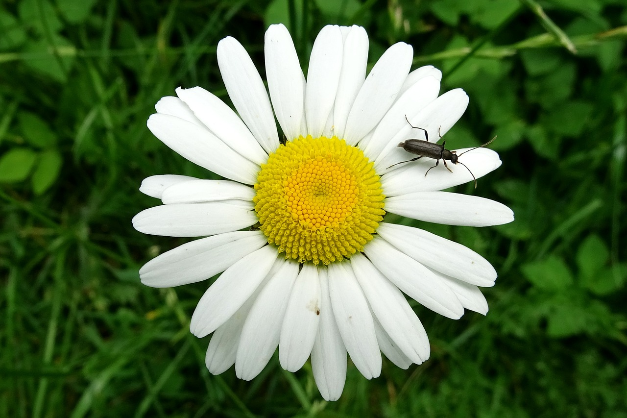 marguerite,beetle,meadow margerite,composites,white flower,free pictures, free photos, free images, royalty free, free illustrations, public domain