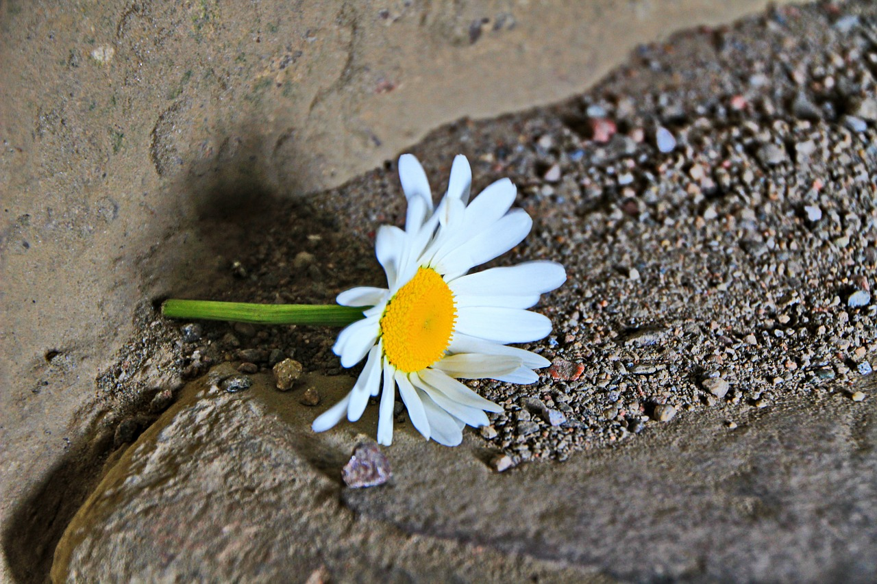 marguerite flower sand free photo
