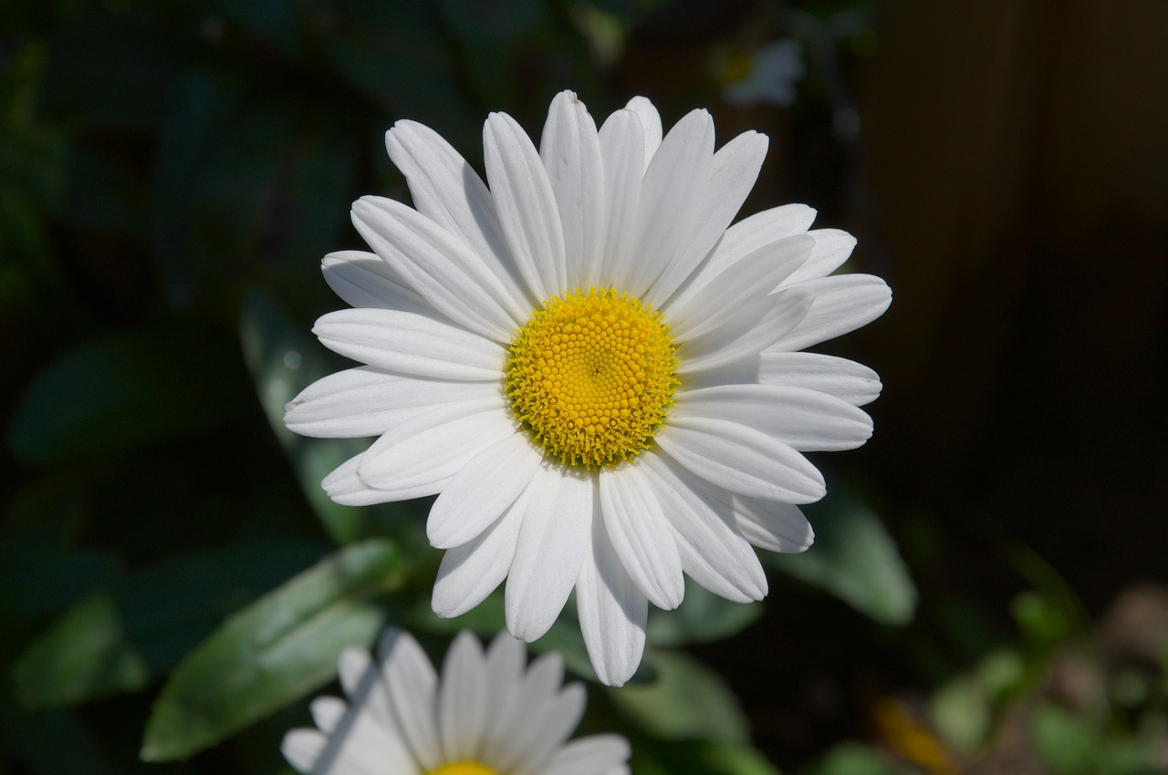 marguerite leucanthemum composites free photo
