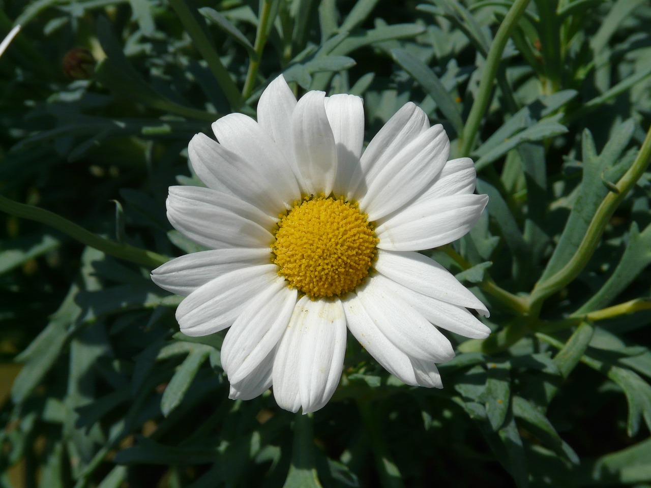 marguerite tree daisy argyranthemum frutescens free photo