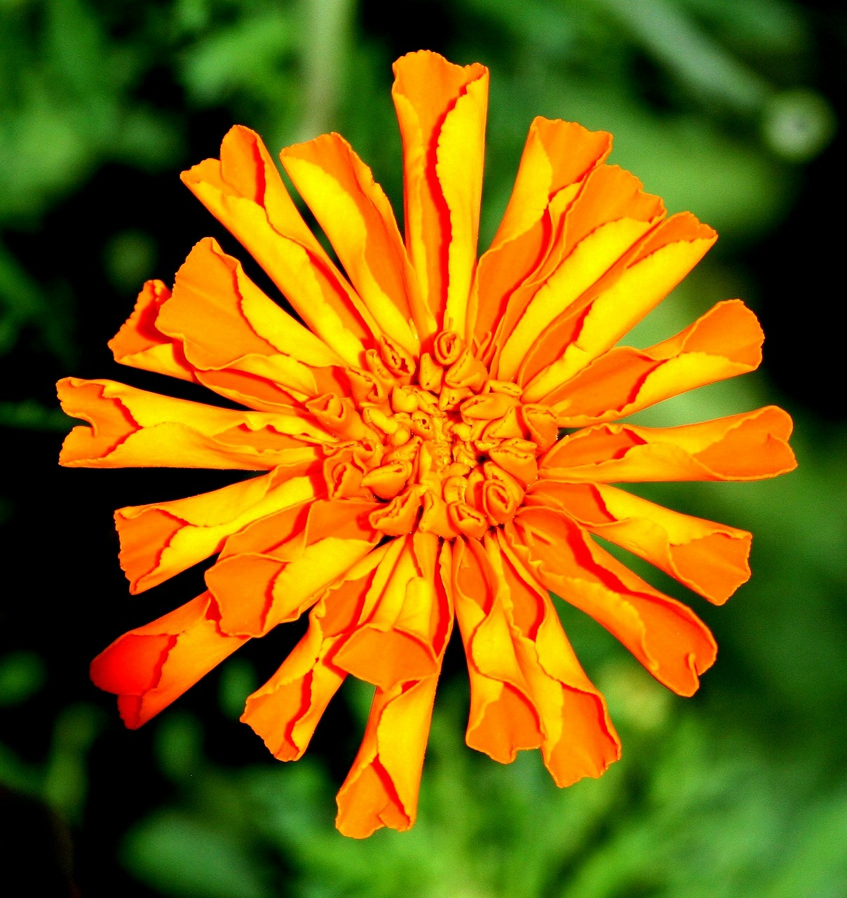 marigold,flowers,blossom,fresh,floral,summer,botanical,natural,blooming,petal,growth,botany,garden,floral mandala,season,pollen,vibrant,stem,cheerful,colourful,life,vivid,stems,summertime,bud,decoration,perennial,environment,ecology,ornament,landscape,flourish,grow,leaf,foliage,ornamental,decorative,elegant,nature,plant,orange,bright,colorful,free pictures, free photos, free images, royalty free, free illustrations, public domain