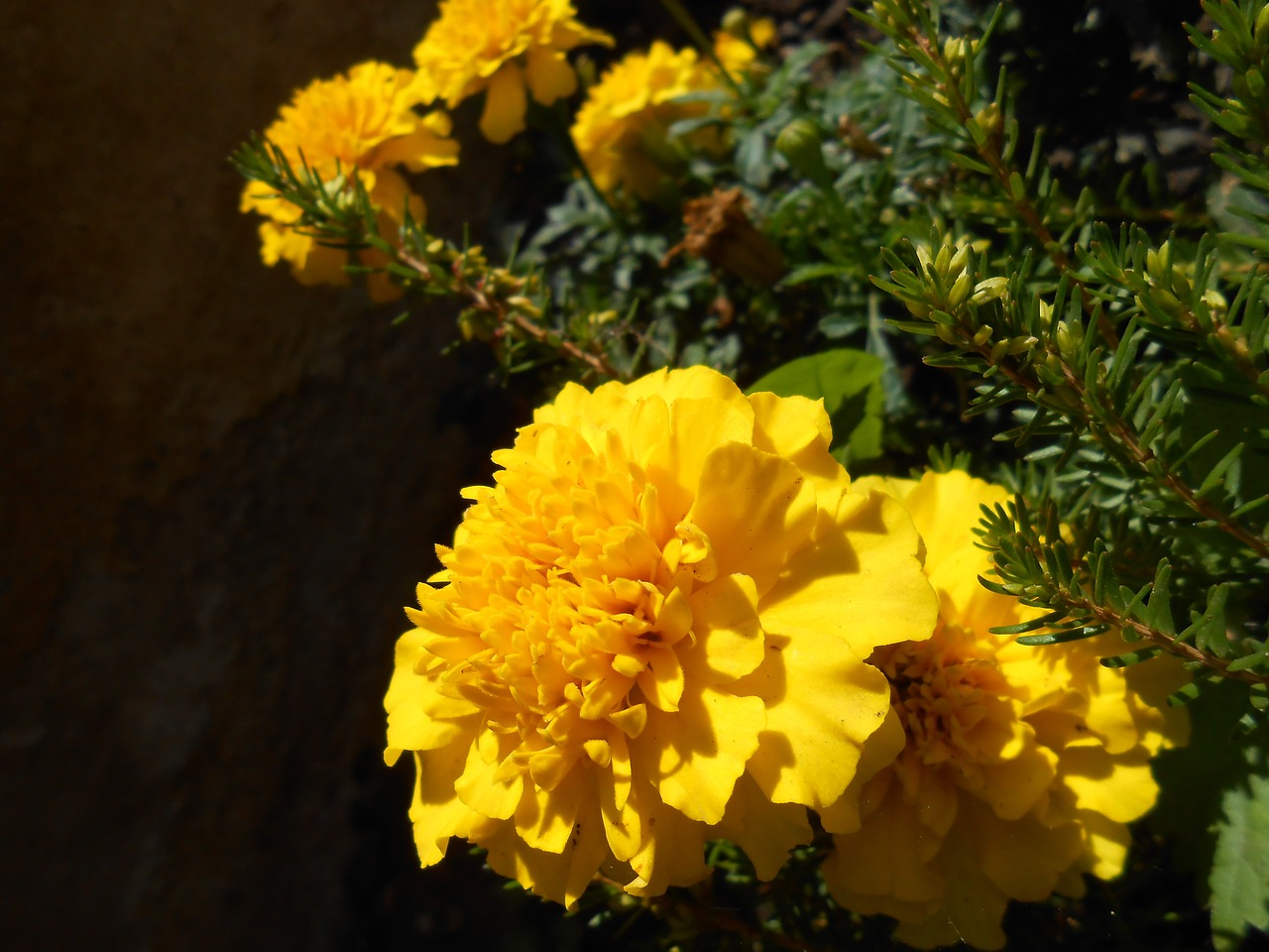 marigold flower flowers free photo