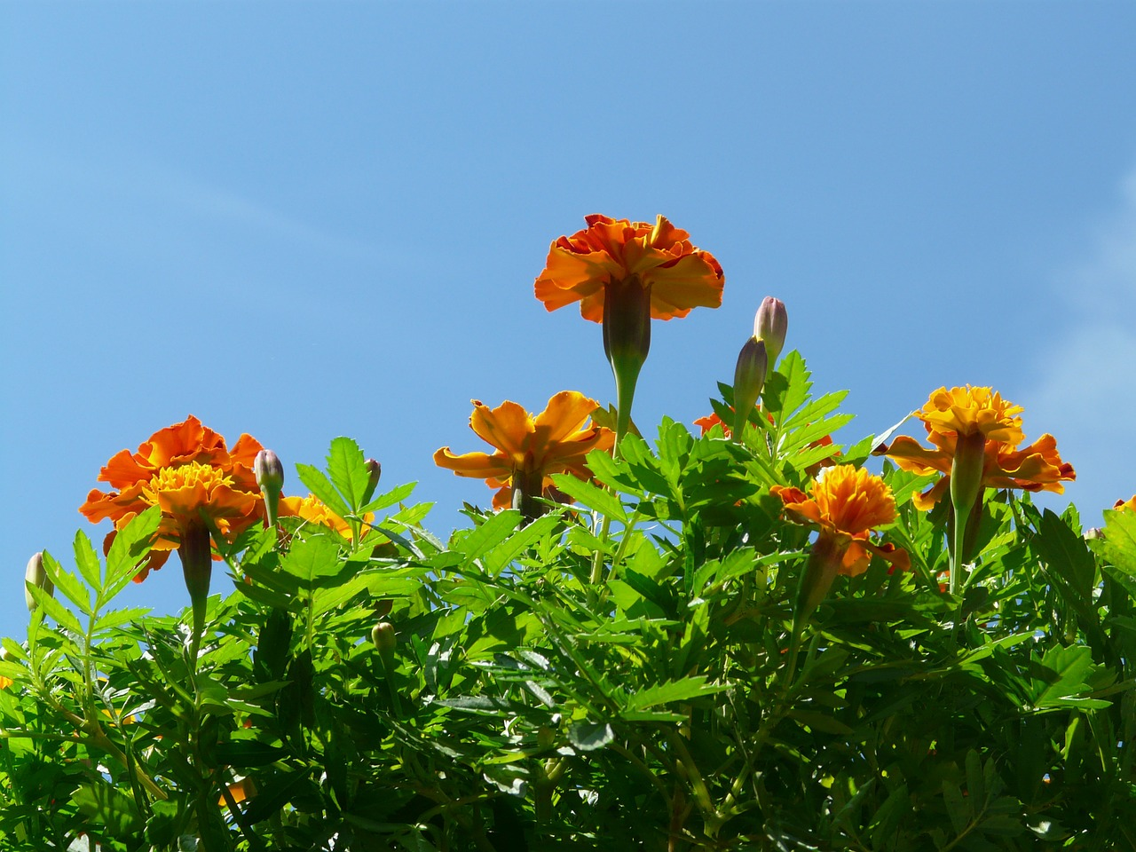 marigold flowers sky free photo