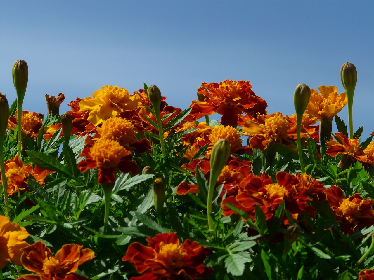 marigold marigolds turkish carnation free photo