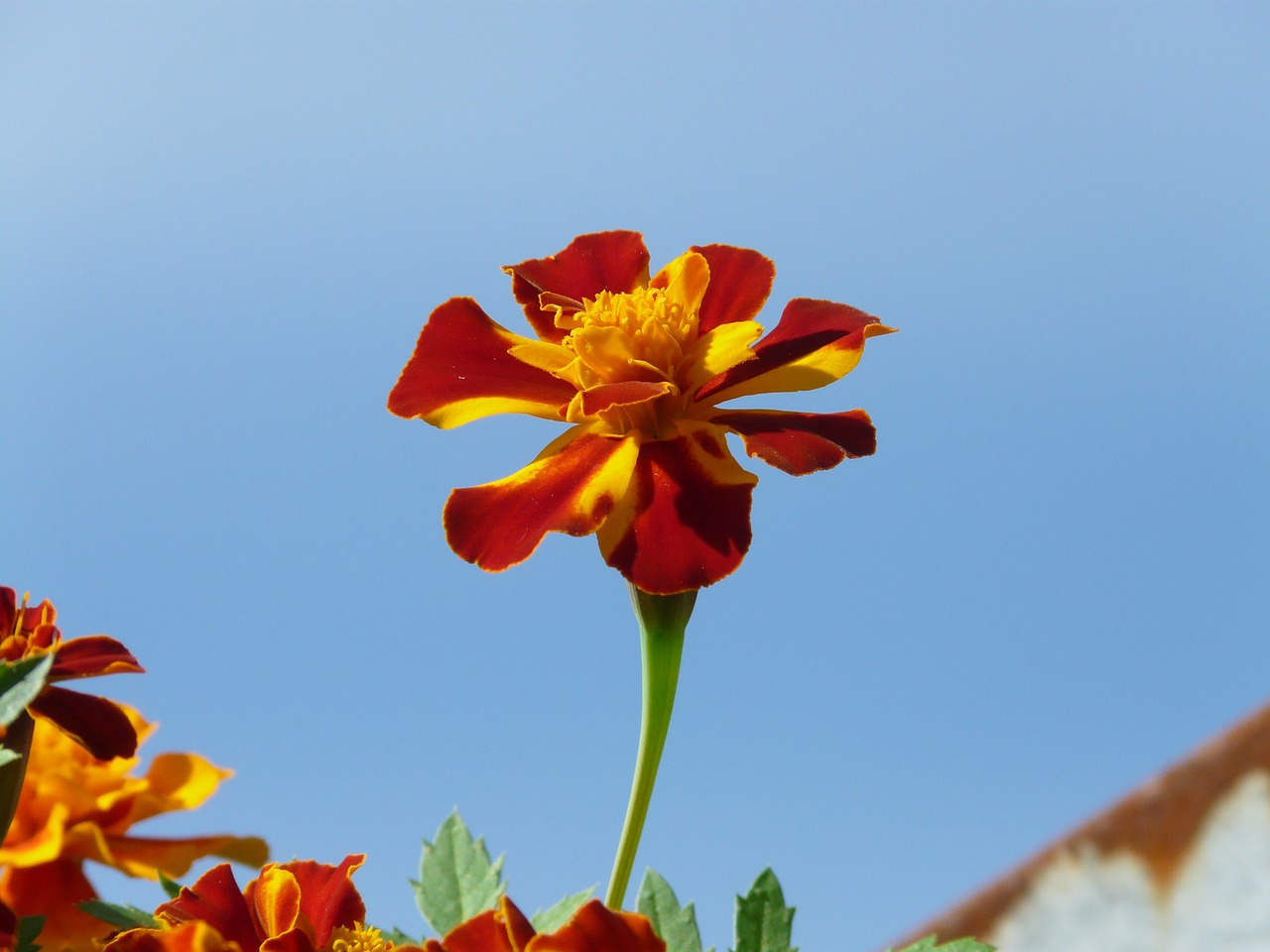 marigold blossom bloom free photo