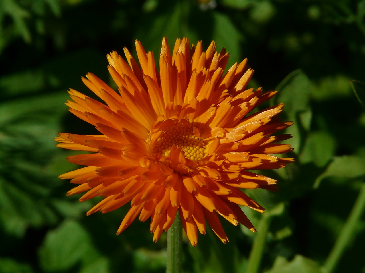marigold calendula officinalis gardening free photo