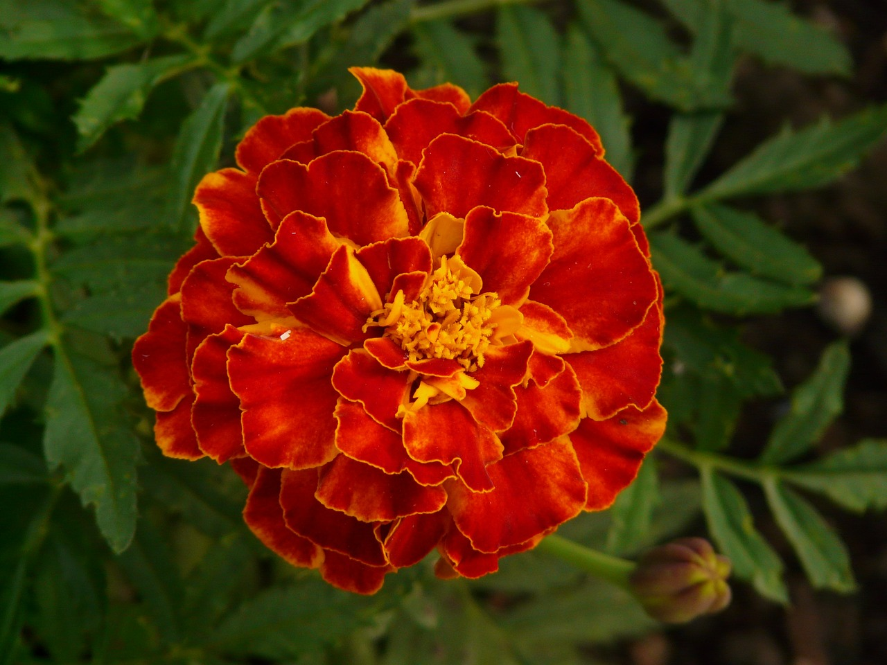 marigold,marigolds,turkish carnation,dead flower,summer flower,balcony flower,balcony plant,plant,flora,flower,blossom,bloom,orange,red,beautiful,colorful,free pictures, free photos, free images, royalty free, free illustrations, public domain