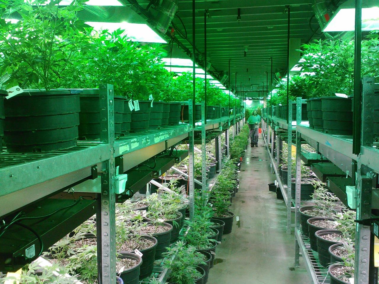 Marijuana,colorado marijuana grow,marijuana dispensary,growing marijuana,growing  cannabis - free image from needpix.com
