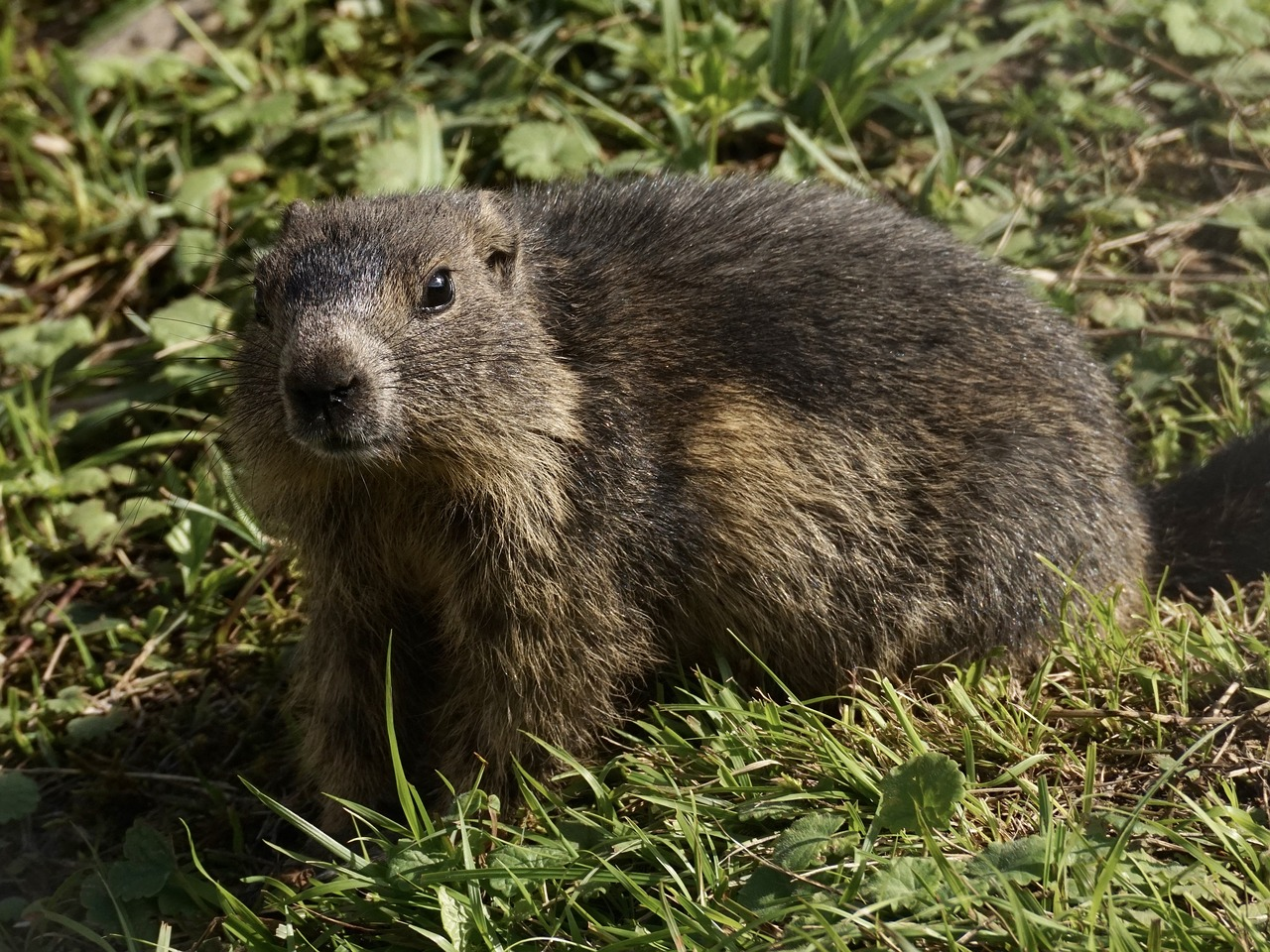 marmot rodent alpine free photo