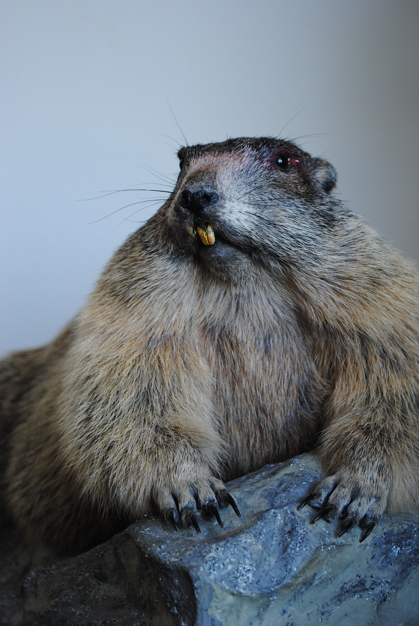 marmot stuffed old free picture