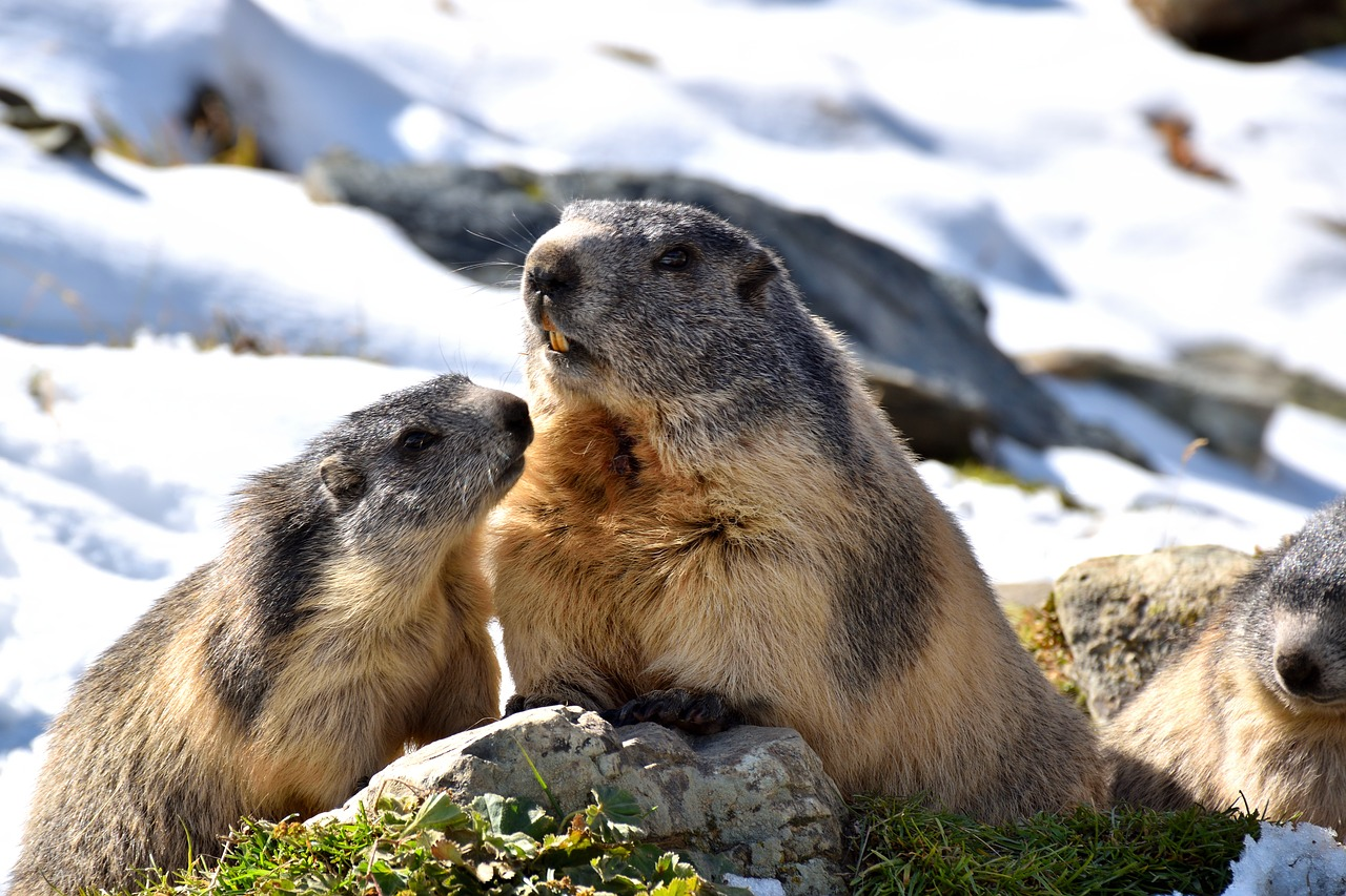 marmots  nature  snow free photo