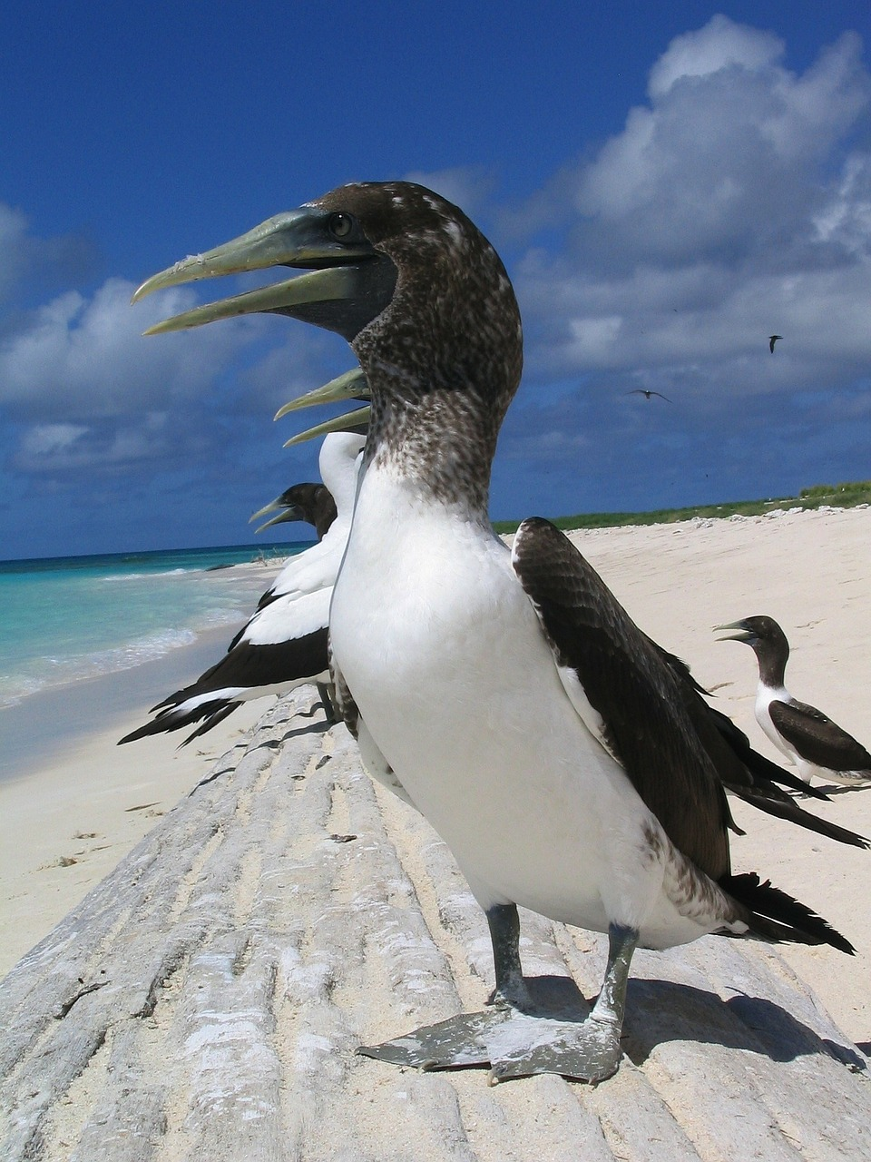 masked booby birds hawaii free photo