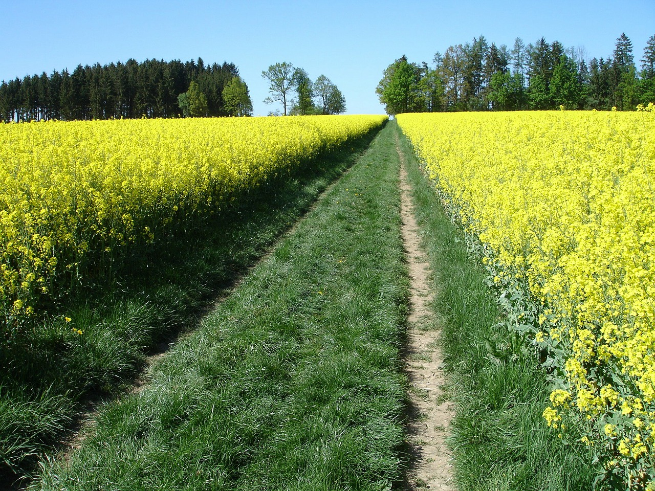 meadow oilseed rape field of rapeseeds free photo
