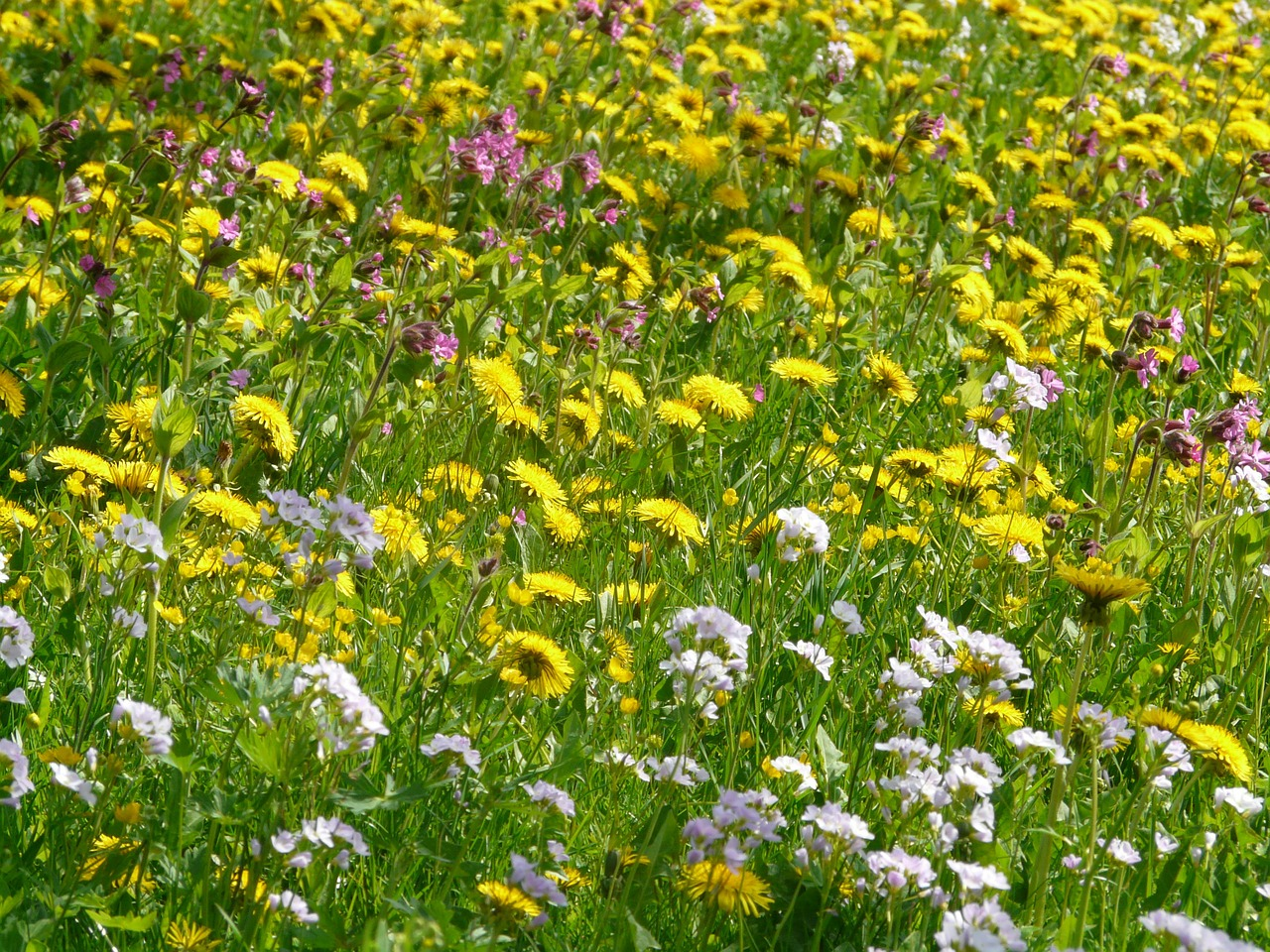 meadow flower meadow spring meadow free photo