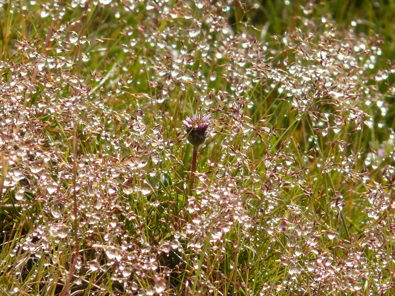 meadow grass dew free picture