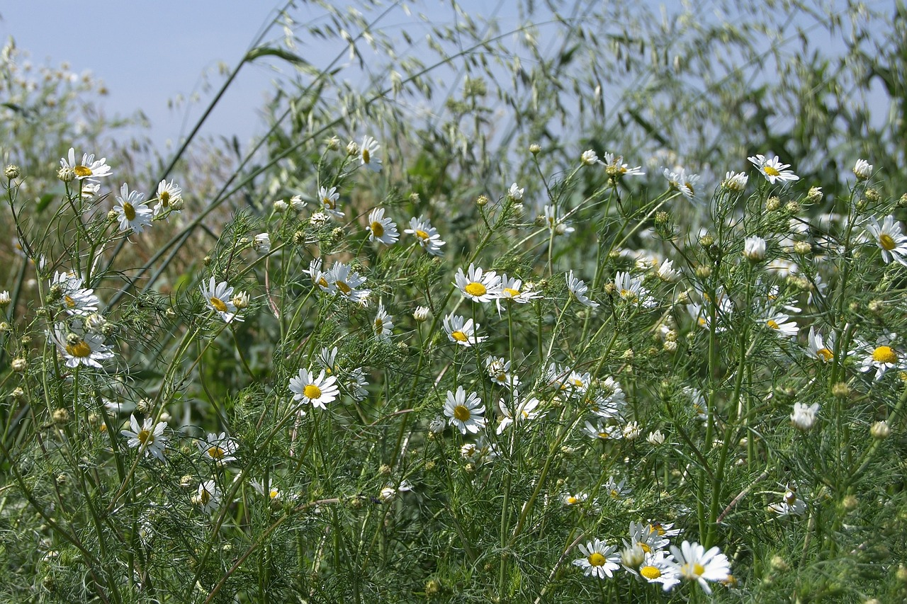 meadow chamomile early summer free photo