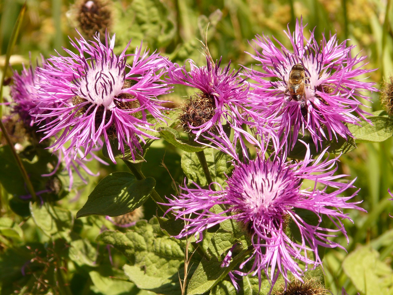 meadow knapweed flower blossom free photo
