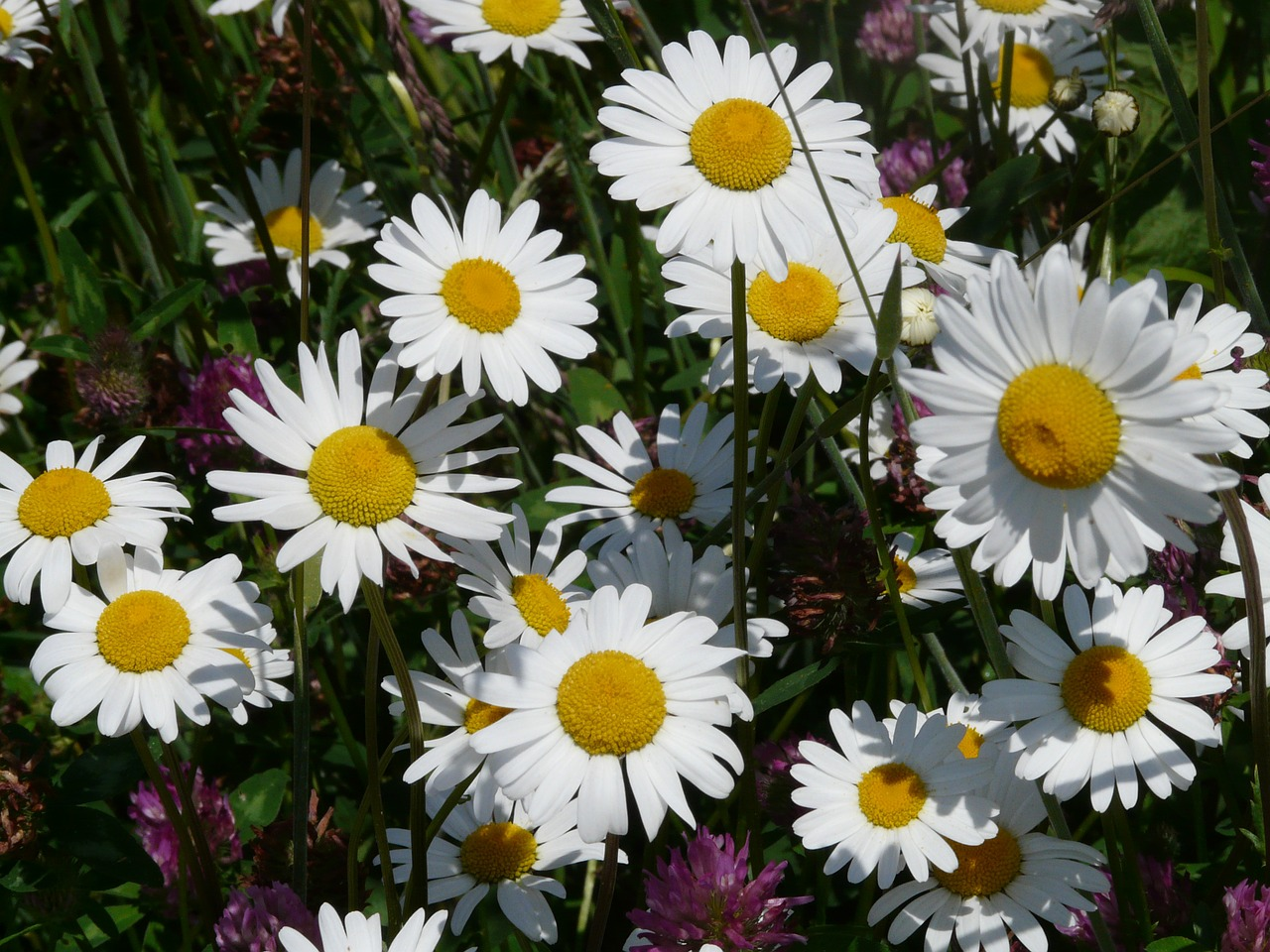 meadows margerite leucanthemum vulgare flower free photo