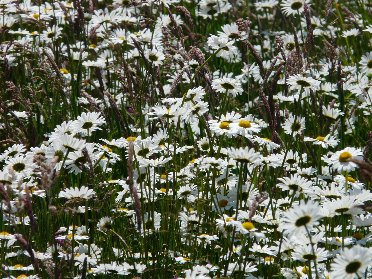 meadows margerite,leucanthemum vulgare,flower,bloom,white,meadow margerite,paid feverfew,daisies,composites,asteraceae,marguerite,leucanthemum,spring,summer,blossom,bloom,meadow,wild flowers,wild flower meadow,blütenmeer,garden plant,container plant,wild flower,schnittblume,free pictures, free photos, free images, royalty free, free illustrations, public domain