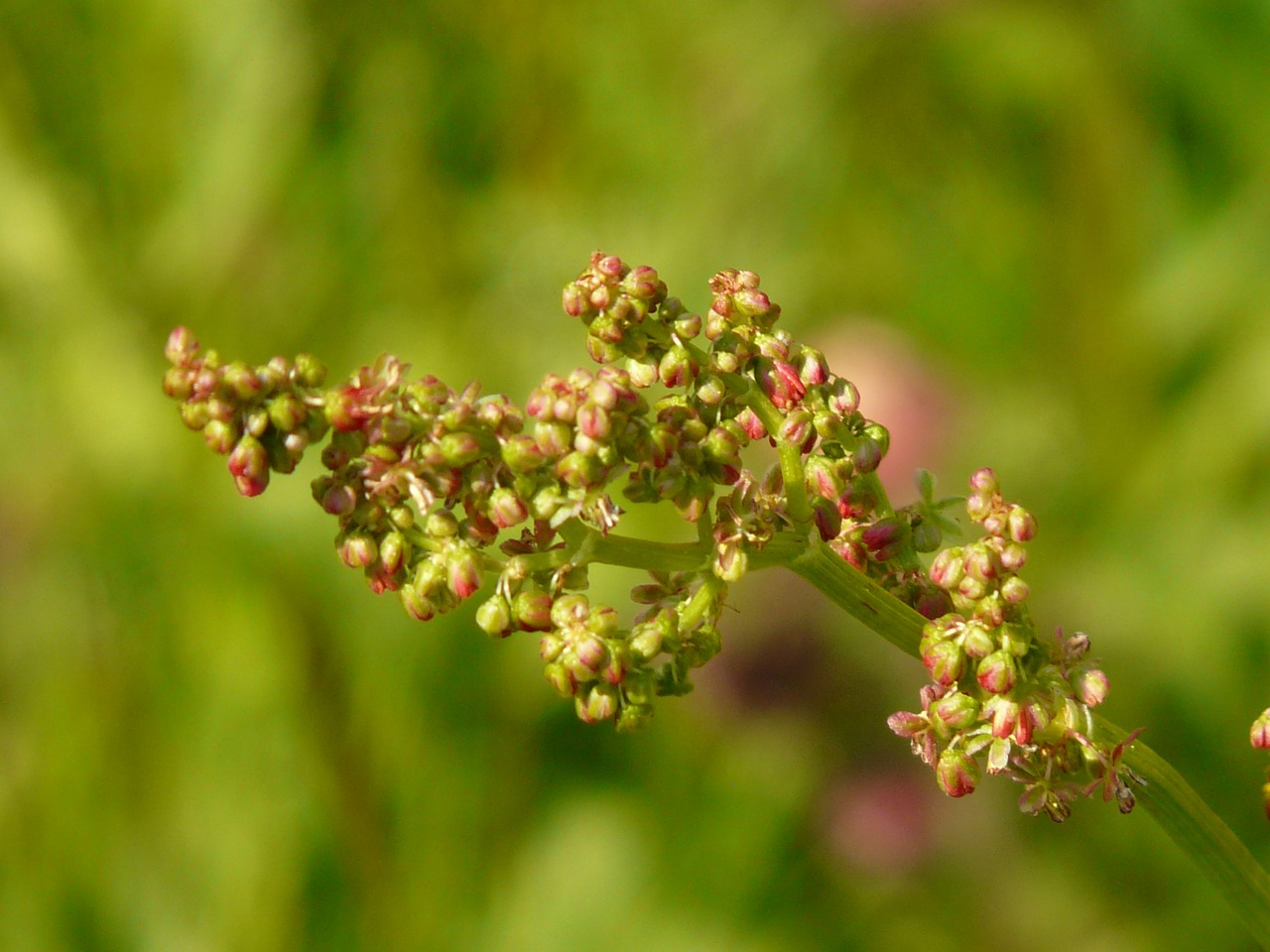 meadows sauerampfer plant inflorescence free photo