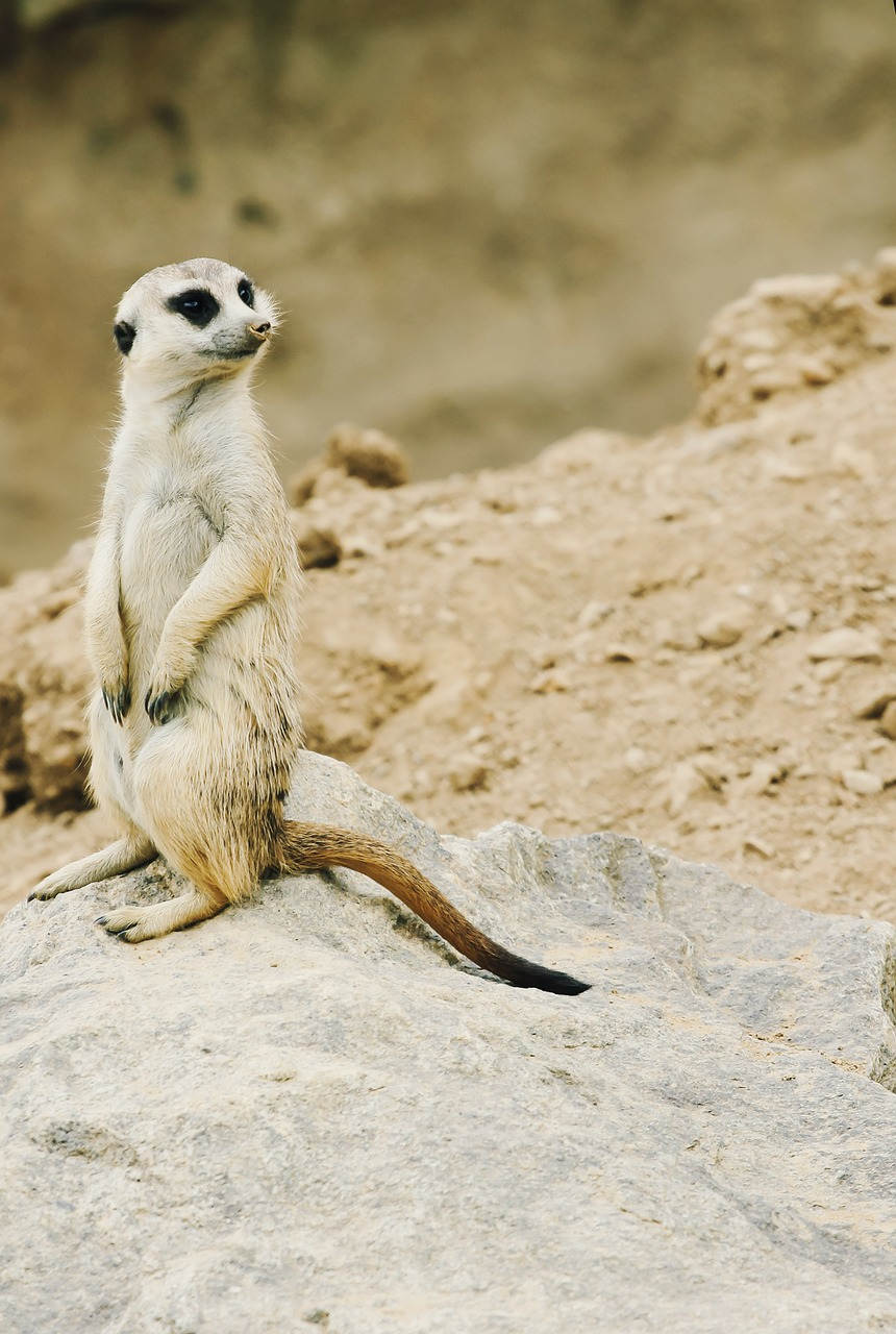 meerkat nature zoo free photo
