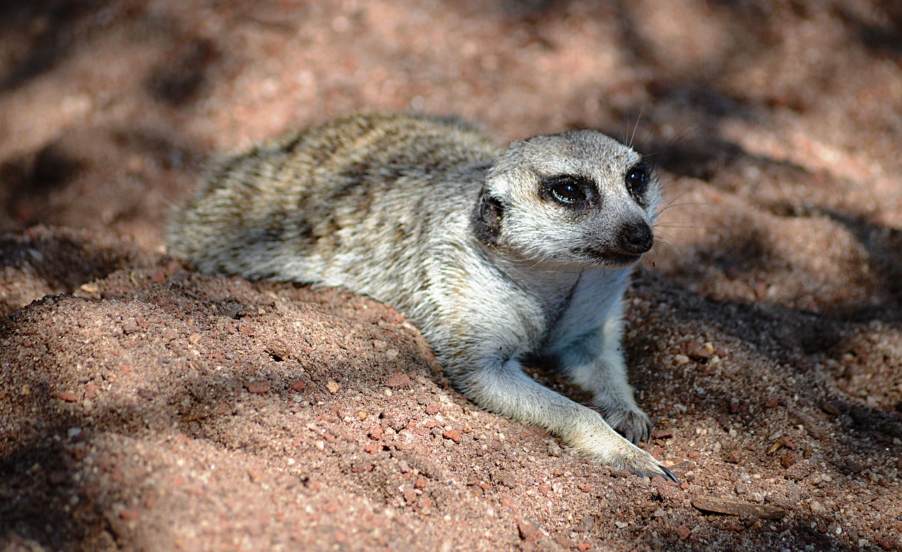 meerkat,animal,zoo,nature,melbourne,melbourne zoo,australia,werribee zoo,zoo animals,cute,free pictures, free photos, free images, royalty free, free illustrations, public domain
