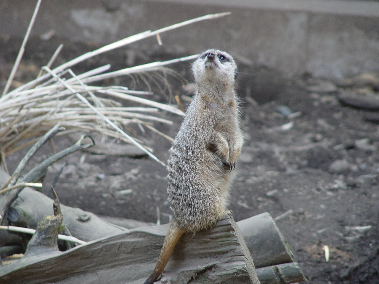 meerkat animal cute free photo