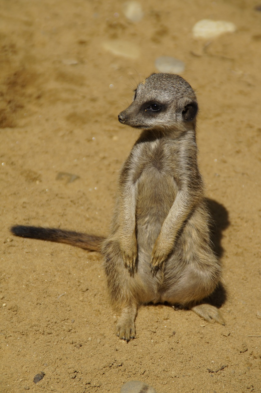 meerkat cute animal world free photo