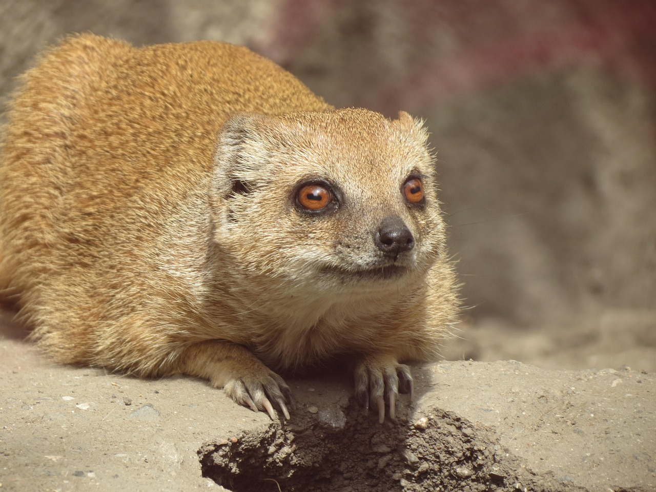 meerkat animal mammal free photo