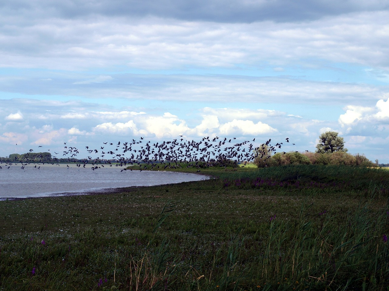 migratory birds flock of birds lake free photo