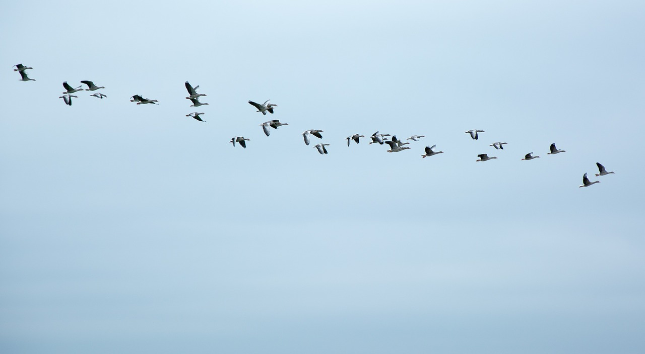 migratory birds geese wild geese free photo