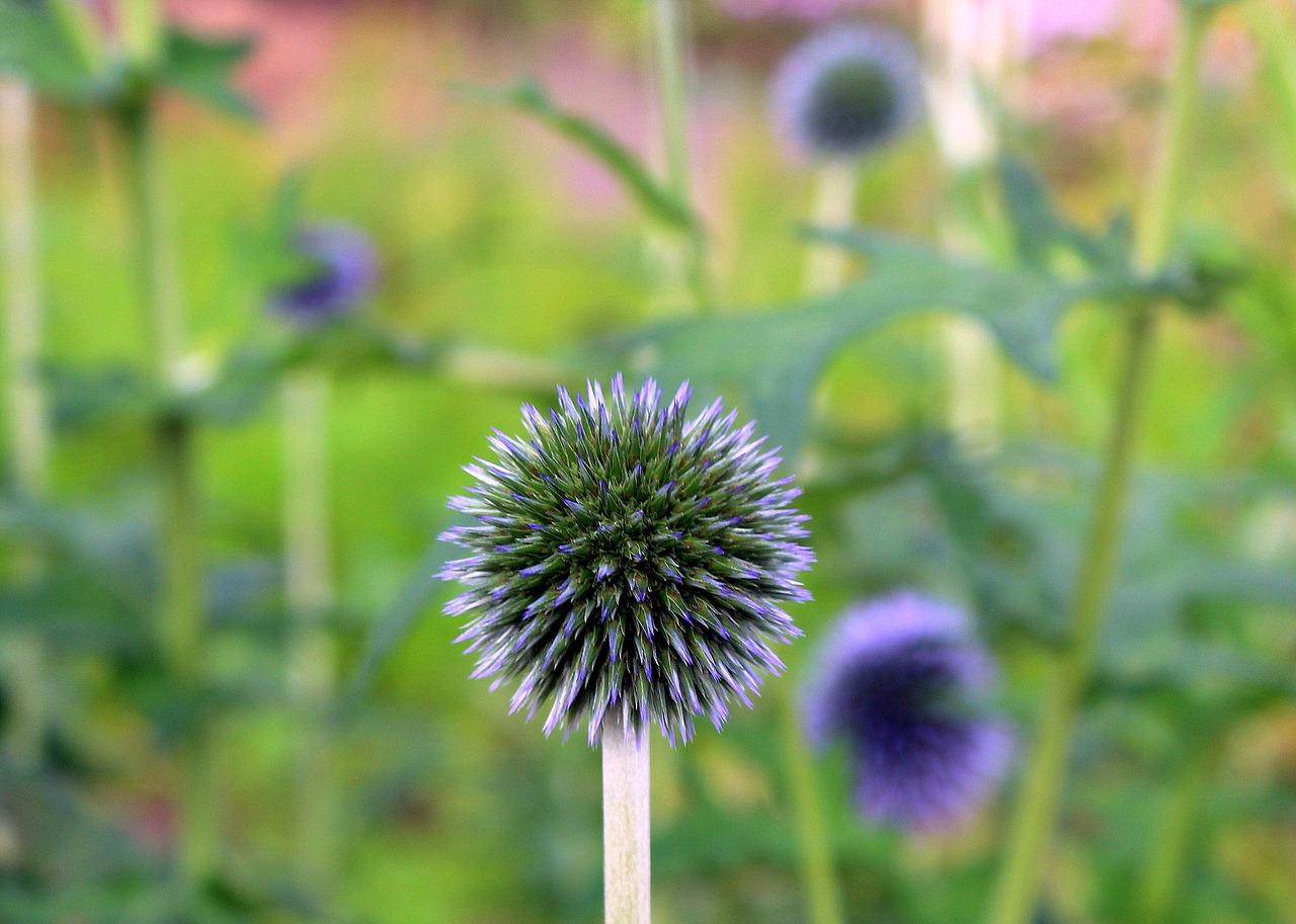 Milk Thistle Is Rich,przegorzan,honey Plant,plant A Garden,spikes,