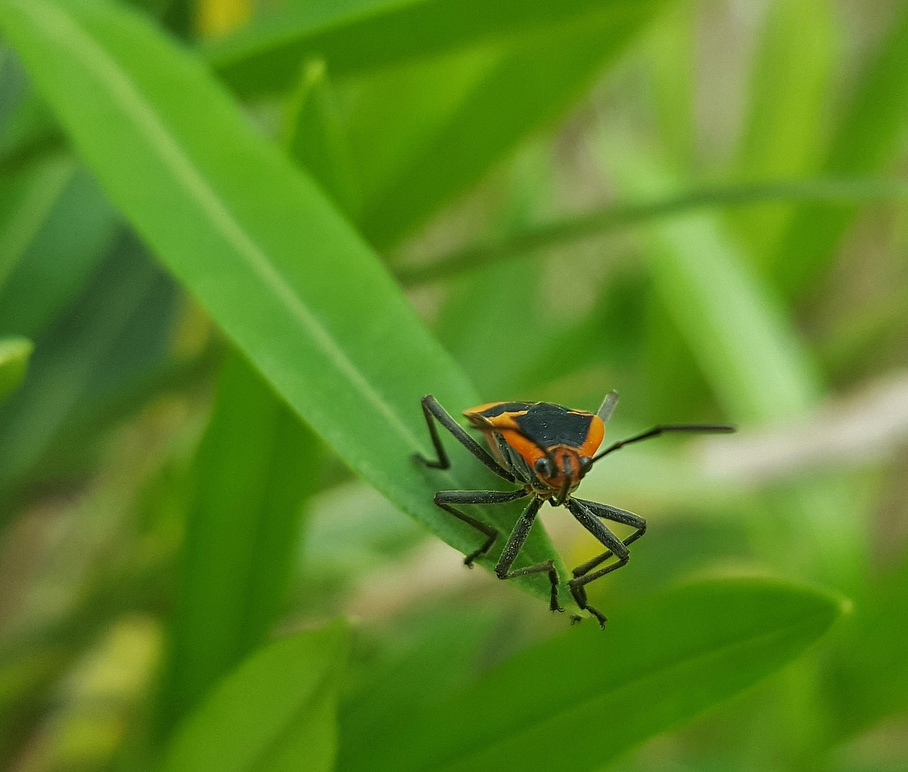 milkweed bug bug insect free photo