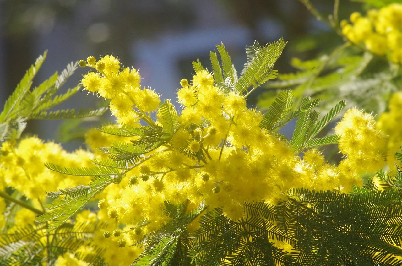 Открытка цветок мимоза