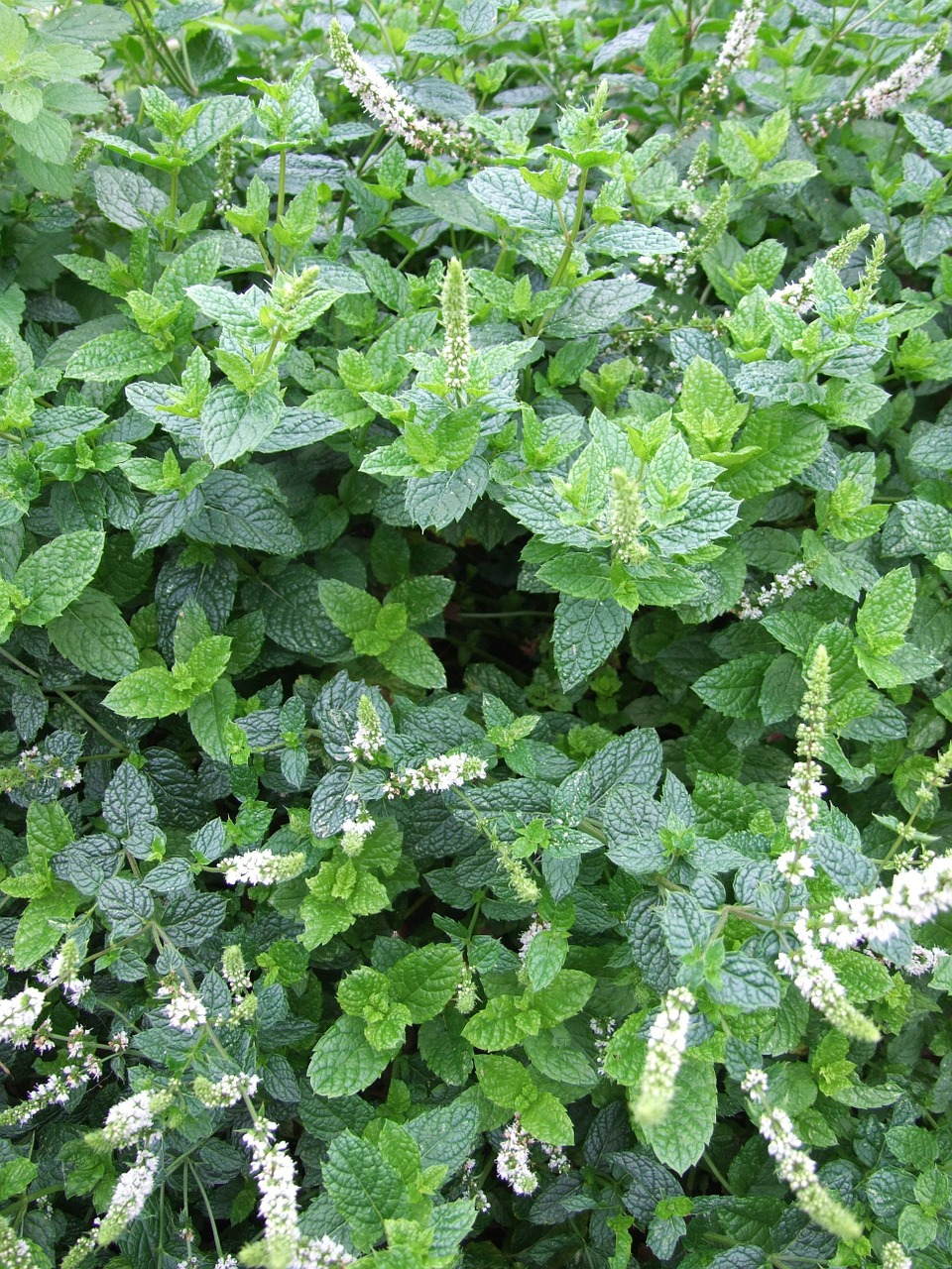 mint herb mojito free photo