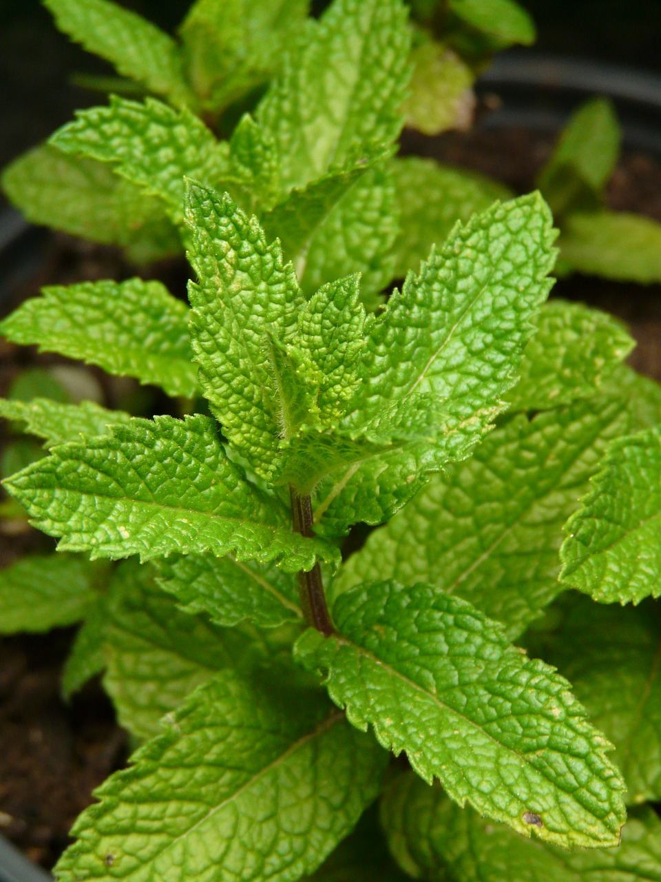 mint plant herb free photo