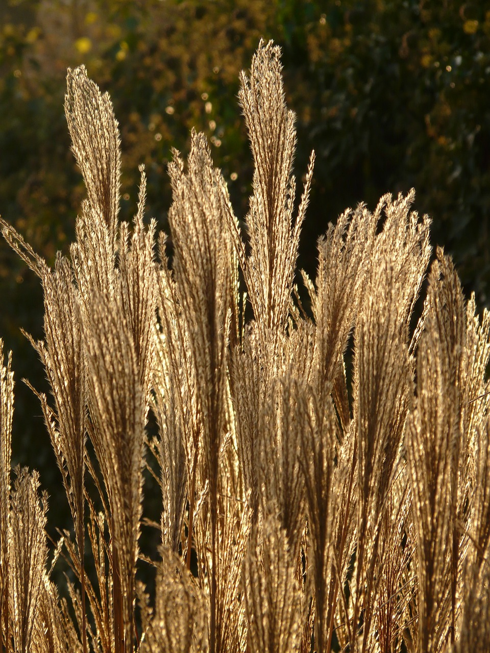 miscanthus miscanthus sinensis back light free photo