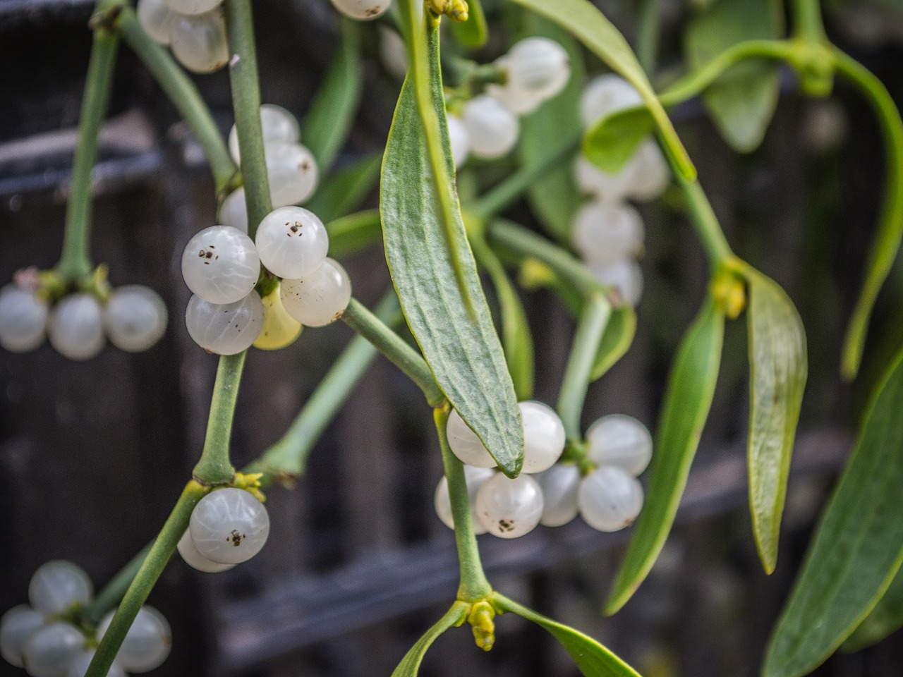 mistletoe  plants  green free photo