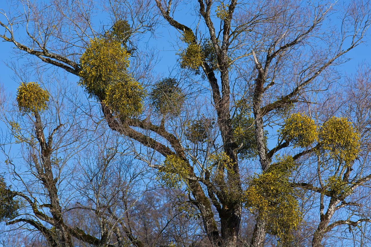 mistletoe  tree  green free photo