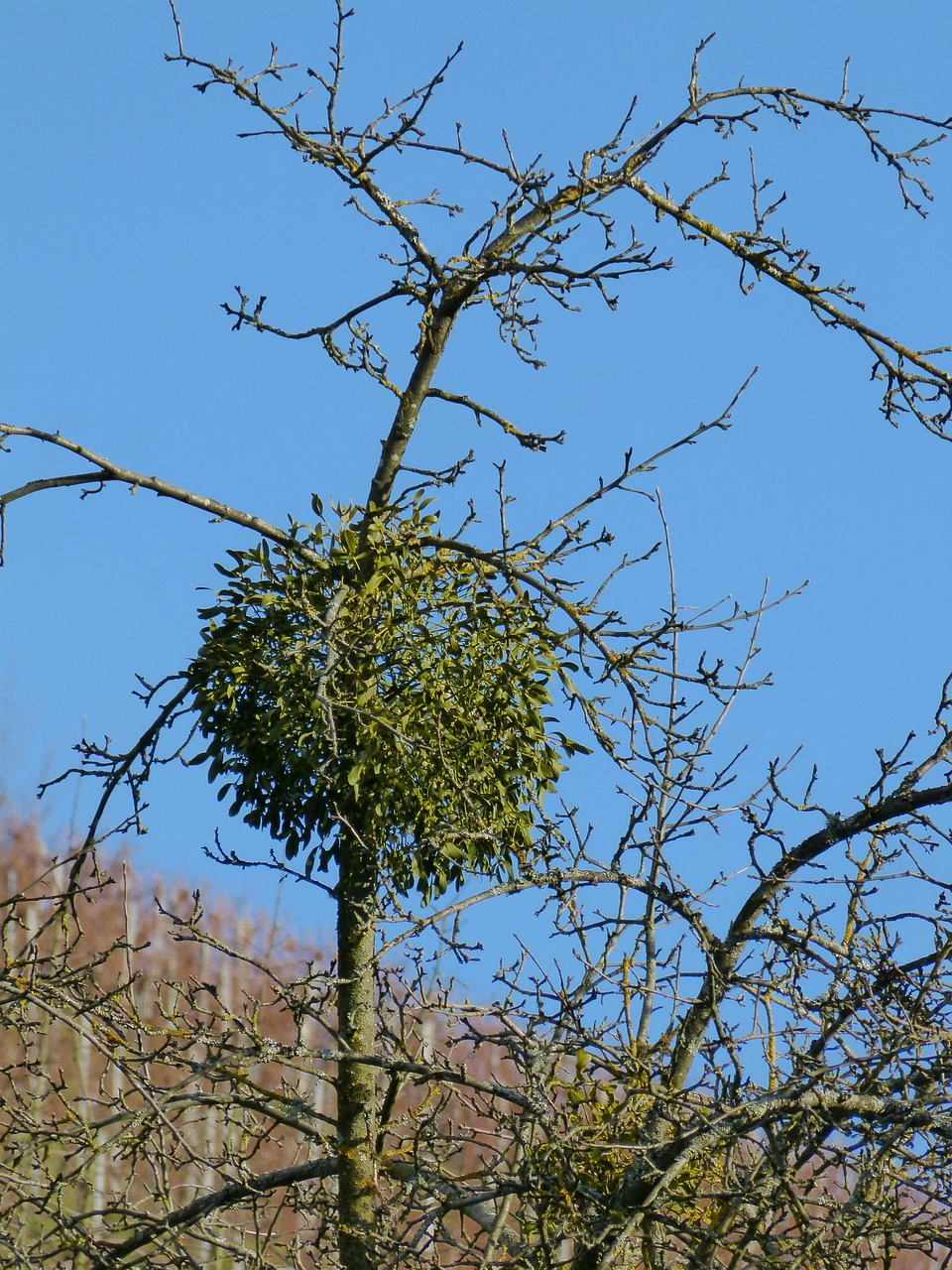mistletoe plant green free photo