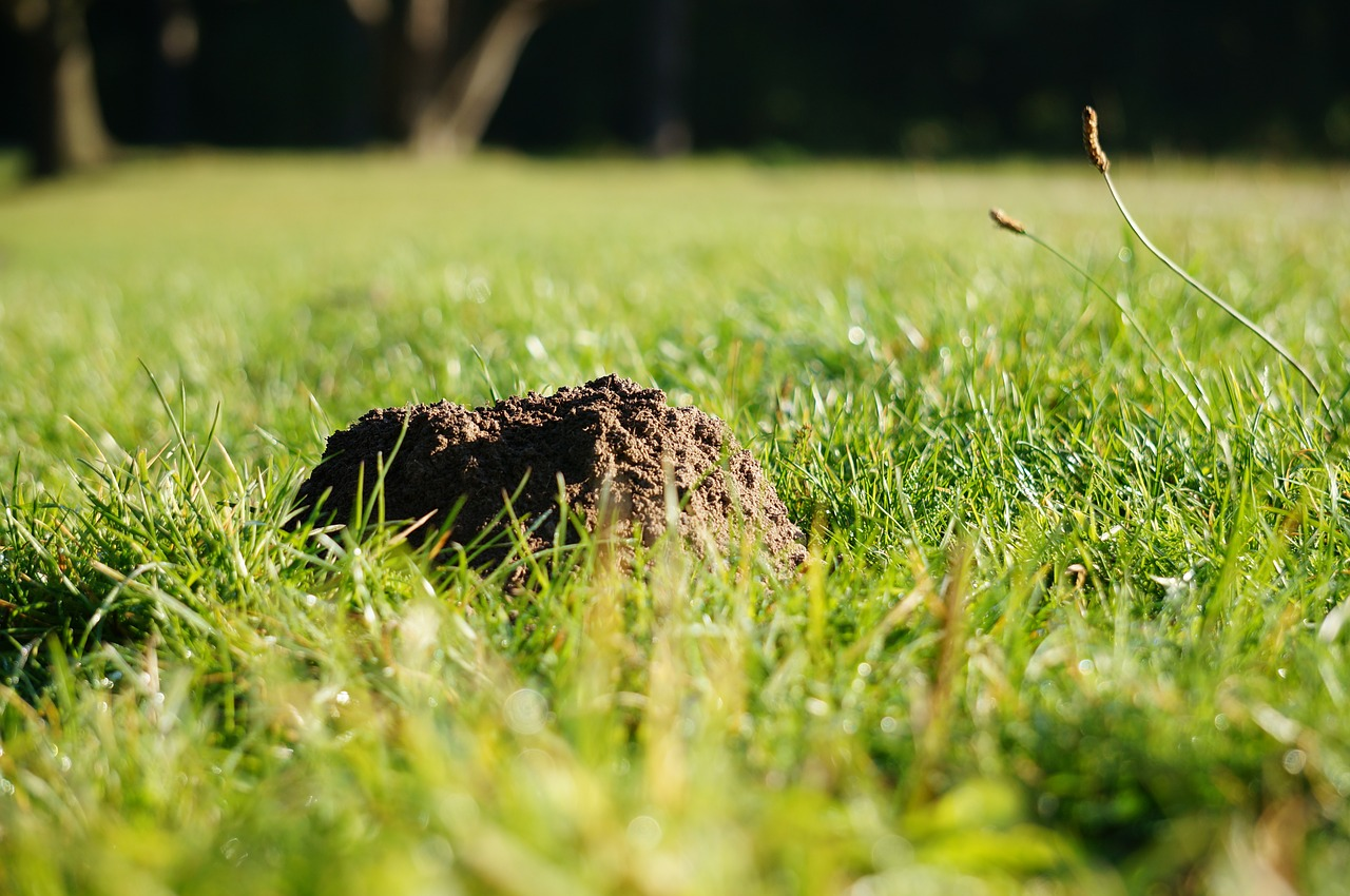 molehill,grass,mole,nature,free pictures, free photos, free images, royalty free, free illustrations, public domain