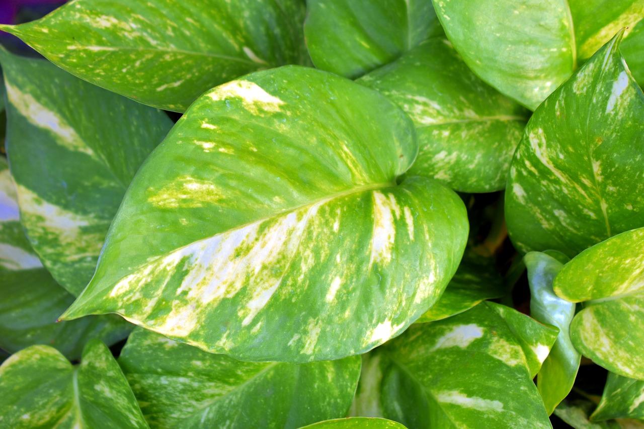 Money Plant Golden Pothos Variegated Leaves Ivy Arum Devil S Vine Epipremnum