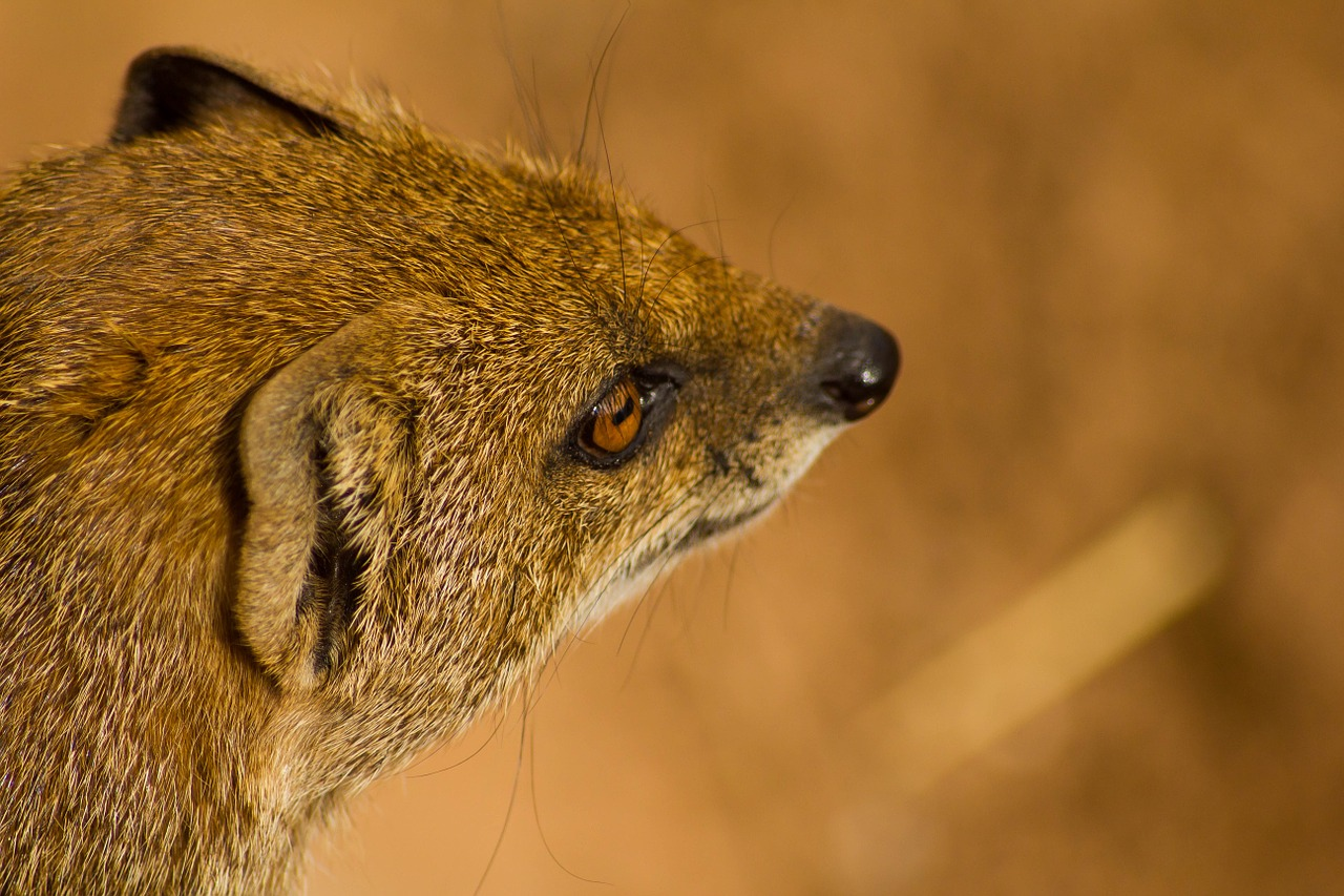 mongoose animal wildlife free photo
