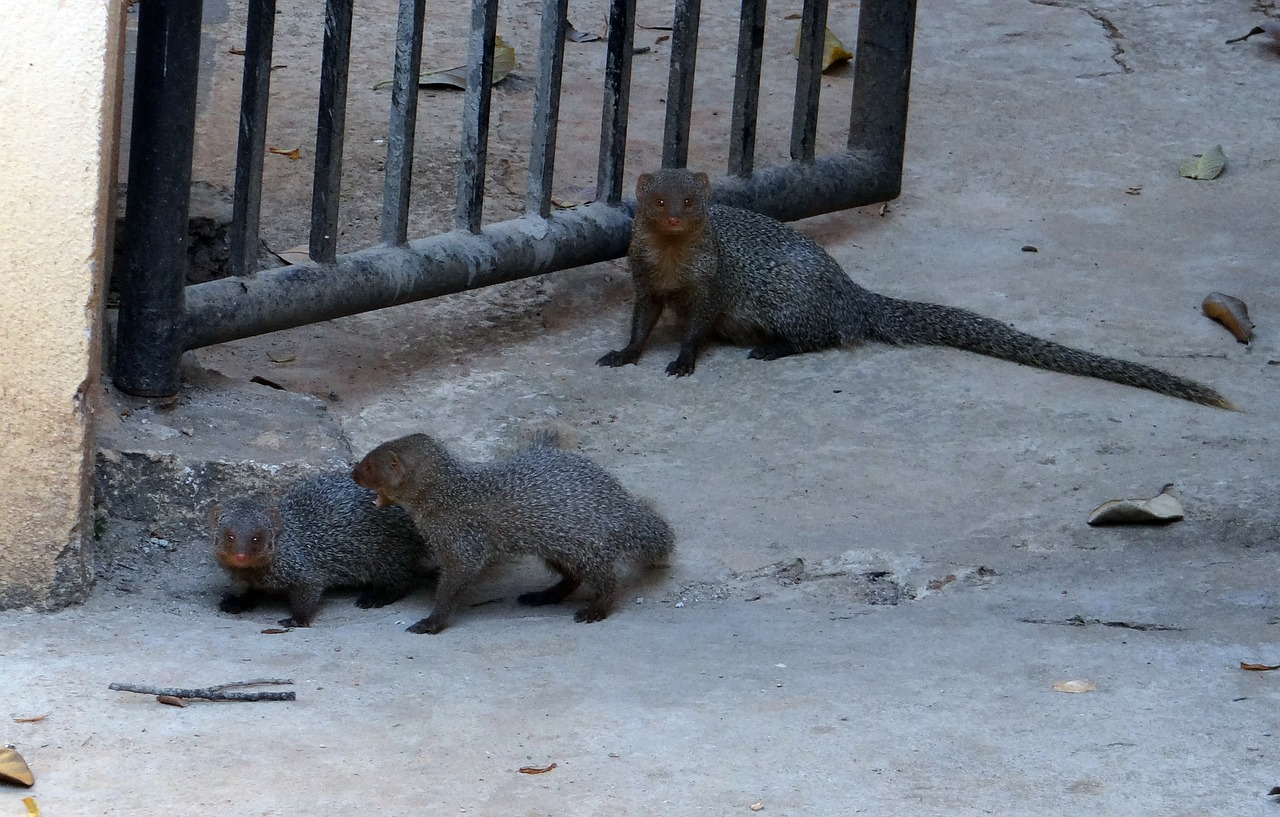 mongoose gnawer rodents free photo