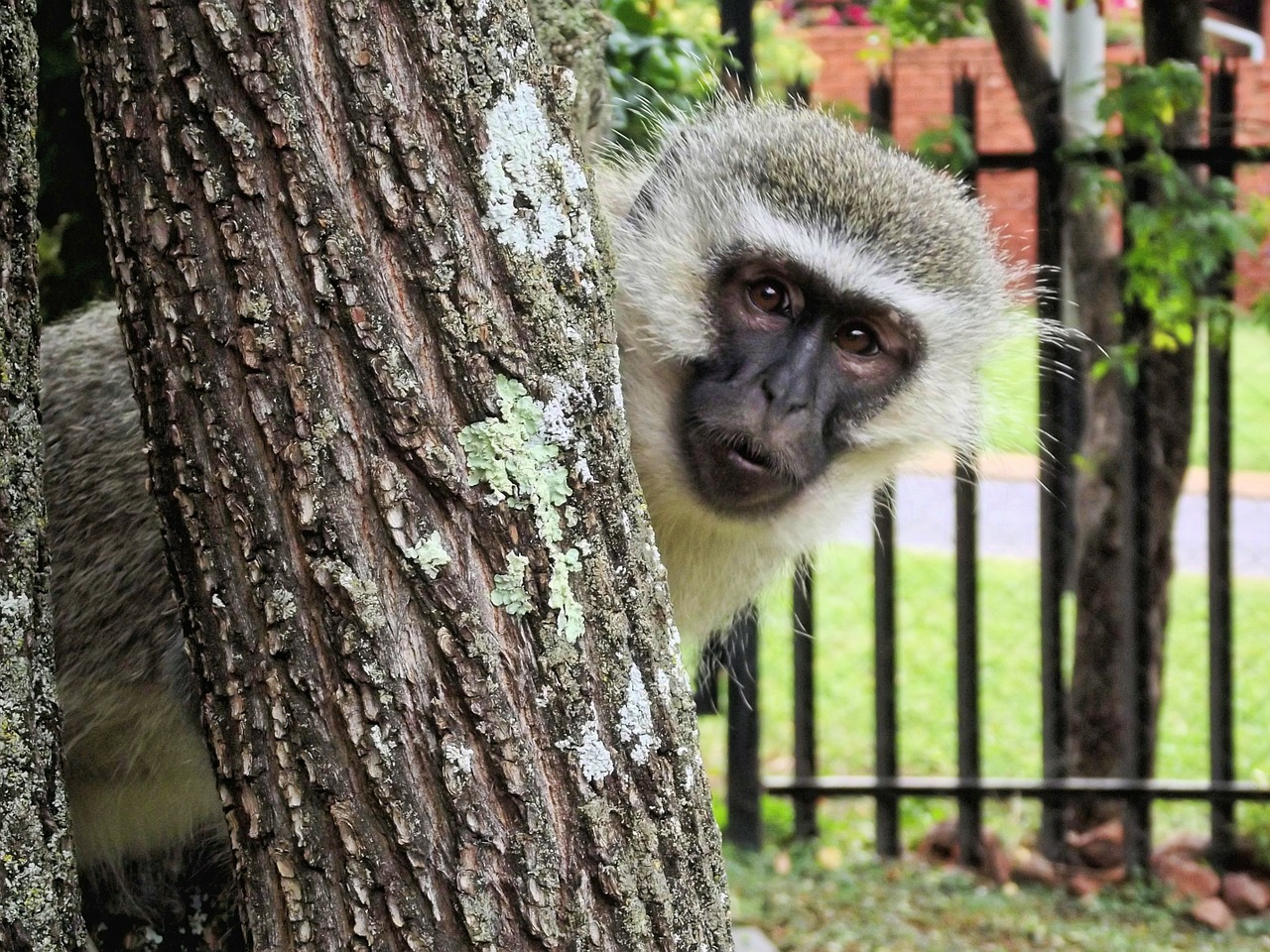 monkey vervet animal free photo